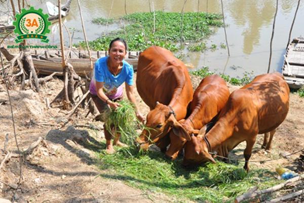 Kỹ thuật nuôi bò sinh sản: Thức ăn cho bò rất đơn giản