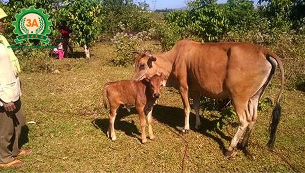 Kỹ thuật nuôi bò sinh sản: Bò mẹ và bê con