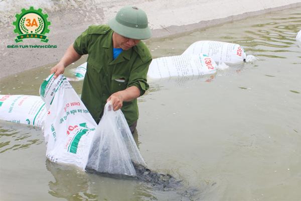 Kỹ thuật nuôi cá trắm cỏ: Thả cá giống vào buổi sáng sớm