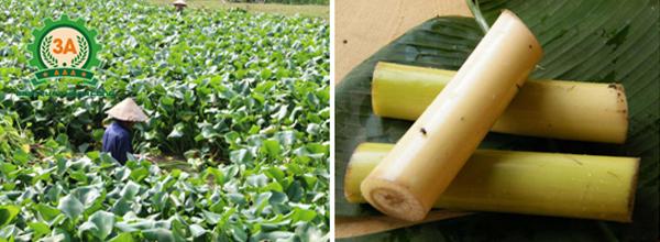 Kỹ thuật nuôi cá trắm cỏ: Bèo tây, cây chuối cá trắm cỏ đều có thể ăn được