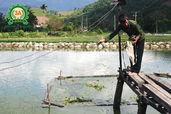 Kỹ thuật nuôi cá trắm cỏ: Cho cá ăn thành nhiều đợt trong ngày