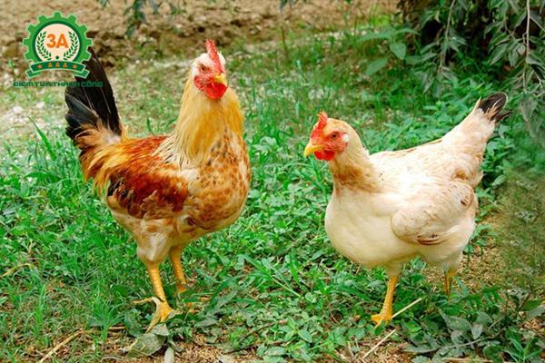 Kỹ thuật nuôi gà thả vườn: Gà thả vườn mạnh khỏe phát triển tốt