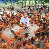 Kỹ thuật nuôi gà thả vườn: Mô hình gà thả vườn