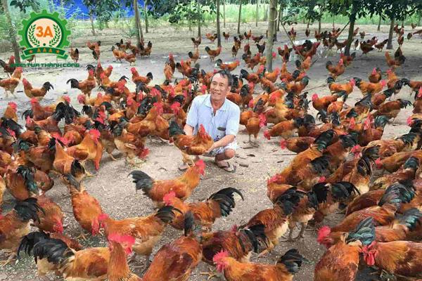 kỹ thuật nuôi gà ta thả vườn