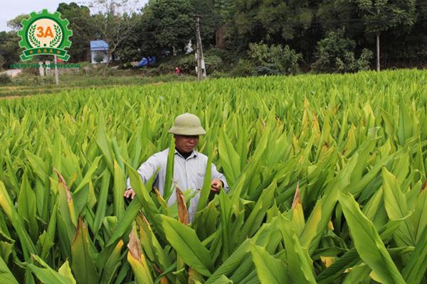 Máy nghiền nghệ 3A3Kw (inox) ra đời phục vụ diện tích trồng nghệ ngày càng được nhân rộng