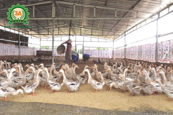 Mô hình chăn nuôi vịt tại Hà Nam