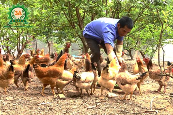 Anh Huy cho đàn vật nuôi ăn