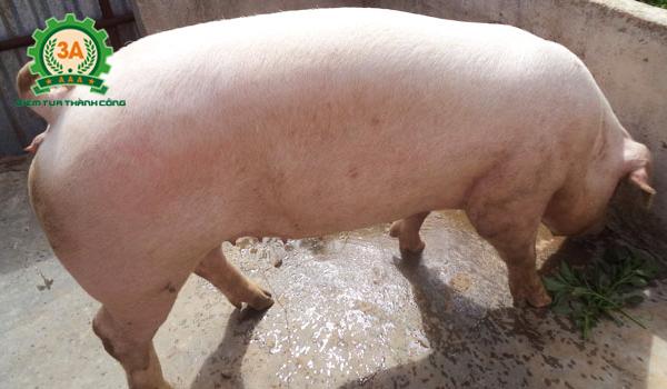 Kỹ thuật nuôi lợn nái sinh sản: Heo giống được chọn cần có đủ những ưu điểm tốt