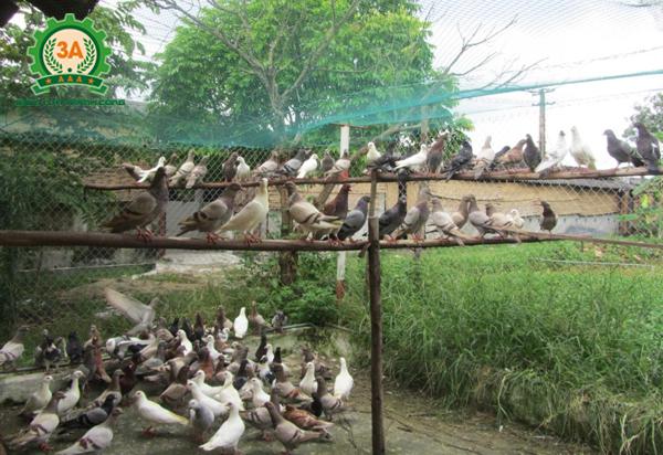 Đàn chim bồ câu của gia đình chú Thình - khách hàng mua máy đập ngô vỡ mảnh 3A2,2Kw
