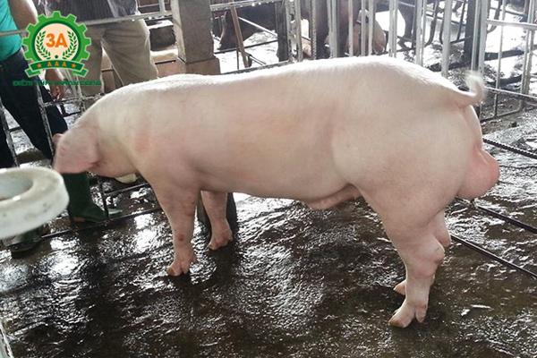 Công thức phối trộn thức ăn cho lợn thịt: Lợn Landrace