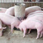 Công thức phối trộn thức ăn cho lợn thịt