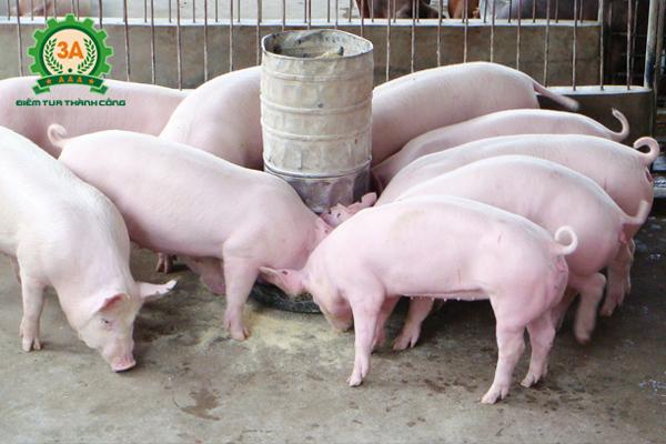 Công thức phối trộn thức ăn cho lợn thịt quy mô gia đình, trang trại