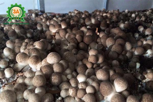 Kỹ thuật trồng nấm rơm: Nấm rơm được trồng trong nhà
