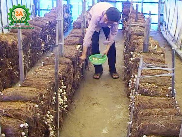 Kỹ thuật trồng nấm rơm trong nhà: Thu hoạch nấm rơm