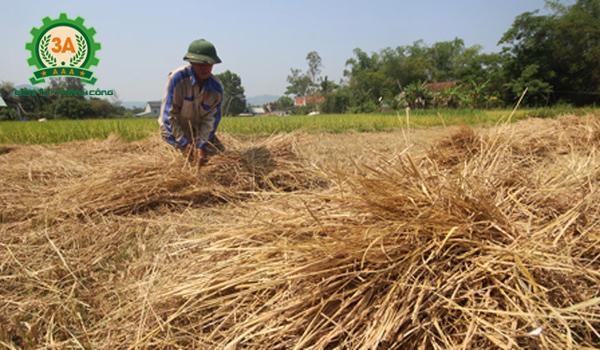 Kỹ thuật trồng nấm rơm trong nhà: Rơm được phơi khô