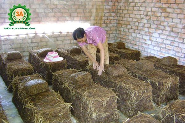 Kỹ thuật trồng nấm rơm trong nhà: Ánh sáng nơi trồng nấm
