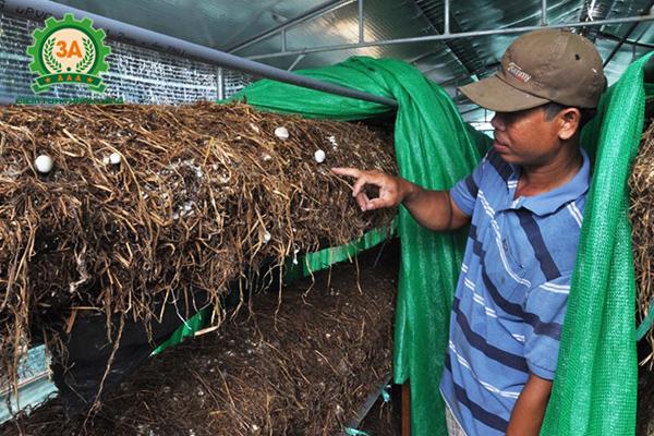 Kỹ thuật trồng nấm rơm trong nhà: Nơi trồng nấm rơm phải tốt