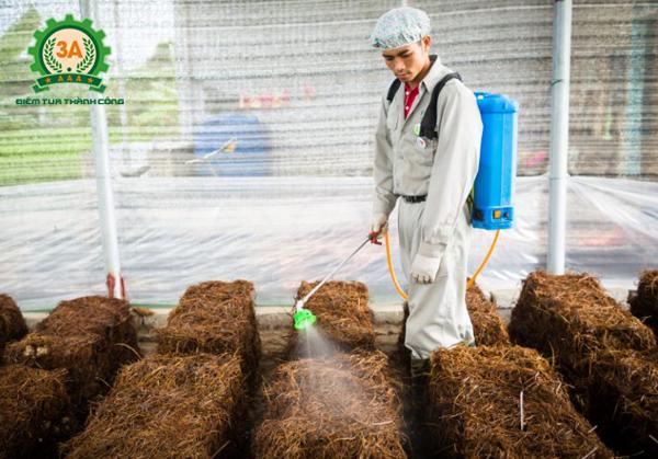 Kỹ thuật trồng nấm rơm trong nhà: Sử dụng nguồn nước sạch để tưới cho nấm rơm