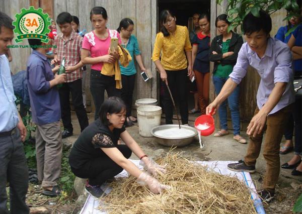 Kỹ thuật trồng nấm rơm trong nhà: Dùng nước vôi để xử lí rơm