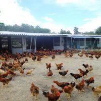 cách làm chuồng nuôi gà thả vườn: Kiểu chuồng có bãi chăn thả