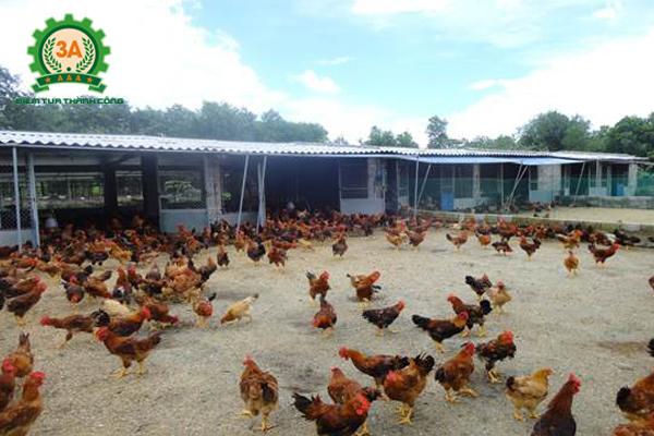 cách làm chuồng gà thả vườn: Kiểu chuồng có bãi chăn thả