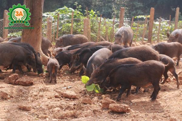 Kỹ thuật nuôi lợn rừng thương phẩm hiệu quả