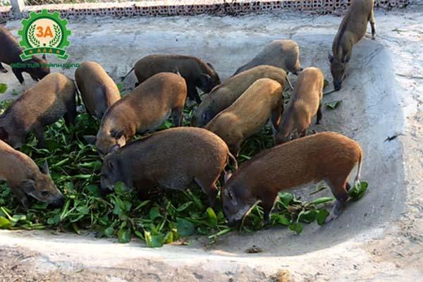 Kỹ thuật nuôi lợn rừng thương phẩm: cho lợn ăn bèo tây