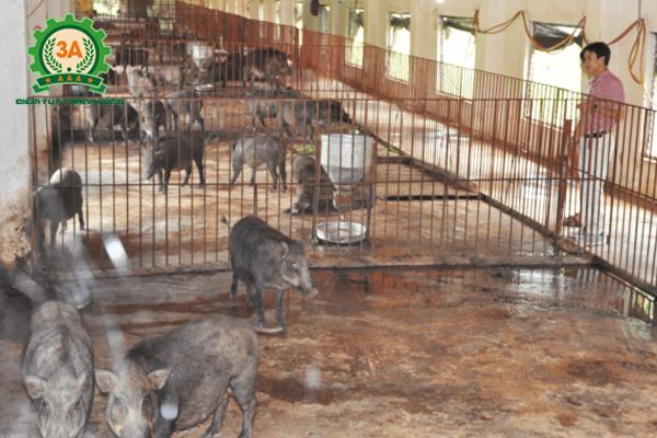 Kỹ thuật nuôi lợn rừng thương phẩm - Nuôi lợn rừng nhốt chuồng