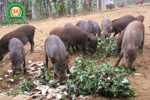 Kỹ thuật nuôi lợn rừng thương phẩm: Thức ăn cho lợn rừng