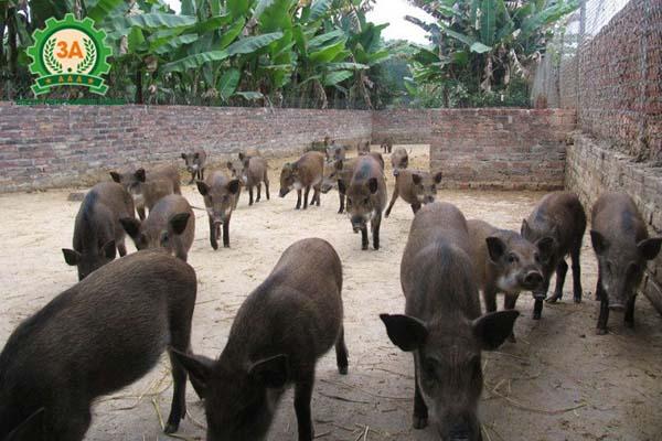 Kỹ thuật nuôi lợn rừng thương phẩm: Xây tường vây