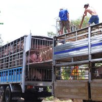Giá lợn hơi ngày 20/08/2018