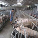 Giá thịt lợn hơi 16/8: Tiếp tục có xu hướng giảm