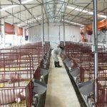 Kỹ thuật chăn nuôi lợn thịt khiến bà con bất ngờ vì cho hiệu quả cao