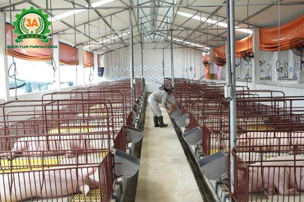 Kỹ thuật chăn nuôi lợn thịt