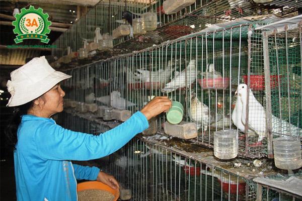 Các bệnh thường gặp ở bồ câu - Cho bồ câu ăn thức ăn dễ tiêu khi bị bệnh