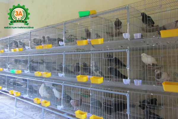 Các bệnh thường gặp ở bồ câu có thể phòng tránh khi giữ vệ sinh chuồng trại
