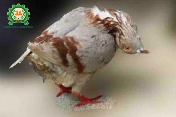 Các bệnh thường gặp ở bồ câu - bồ câu bị vặn cổ