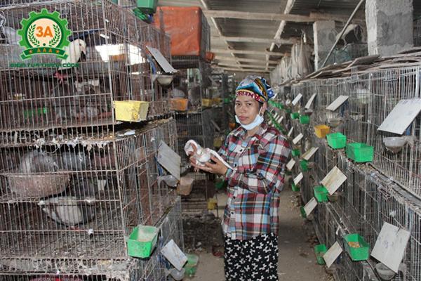 Các bệnh thường gặp ở bồ câu: Giữ vệ sinh chuồng nuôi