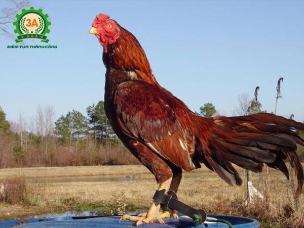 Cách chọn gà chọi tơ - Gà chọi Asil