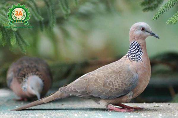 Cách nuôi chim cu gáy non - Chim cu gáy trưởng thành