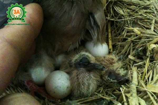 Cách nuôi chim cu gáy non - Nên nuôi chim cu gáy non từ khi còn nhỏ
