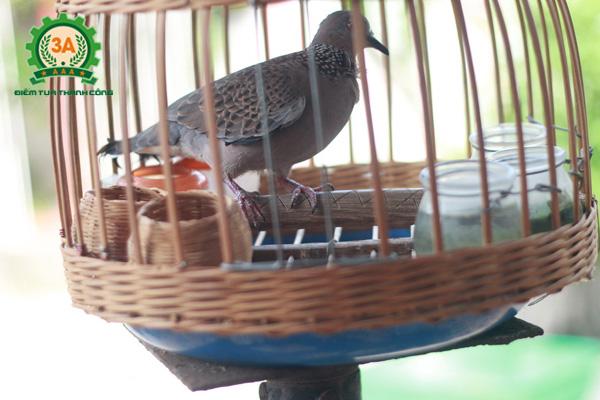Cách nuôi chim cu gáy non - Lồng chim cu gáy nên treo ở trên cao và tại nơi yên tĩnh