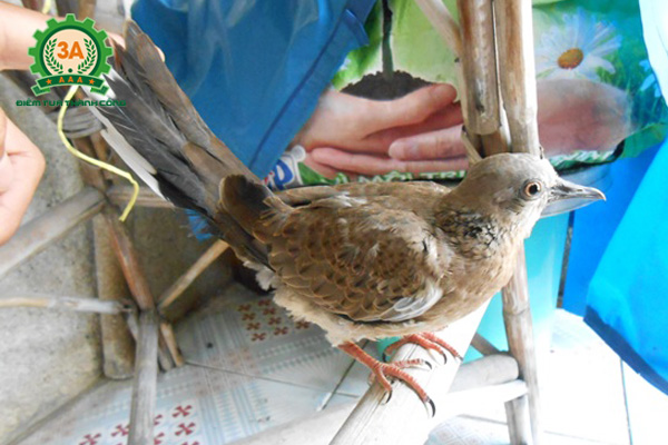 Cách nuôi chim cu gáy non - cho chim phơi nắng