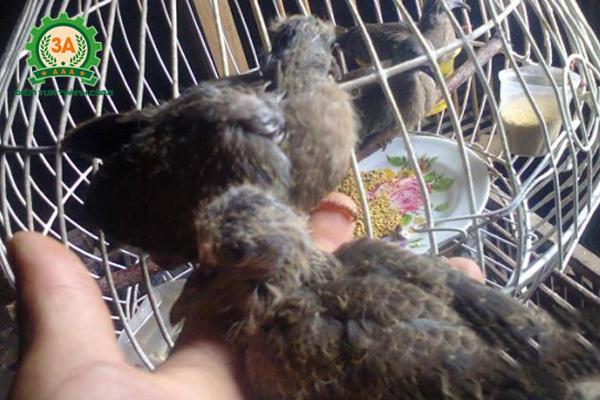 Cách nuôi chim cu gáy non - Tập cho chim ăn sớm
