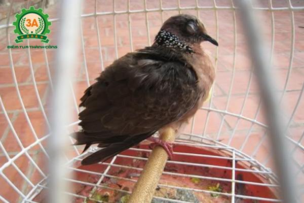 Cách nuôi chim cu gáy non - Bệnh đau mắt ở chim cu gáy