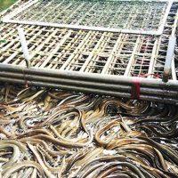 Mô hình nuôi lươn không bùn mang lại hiệu quả cao