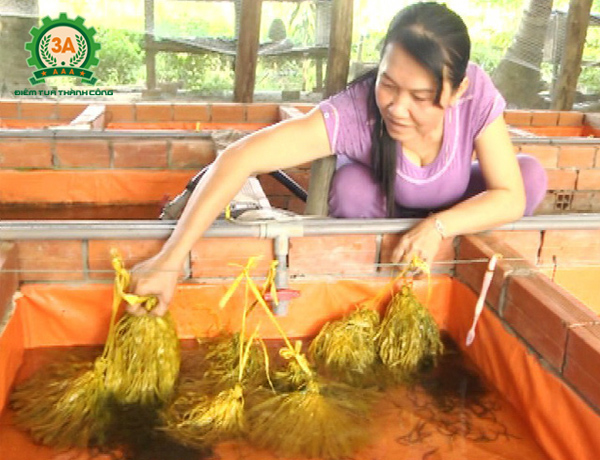 Cách ương nuôi lươn con không bùn