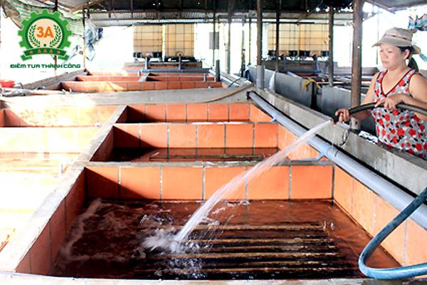 Thay nước khi nuôi lươn không bùn