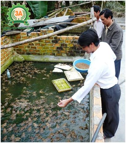 Nuôi ếch trong bể xi măng: thức ăn cho ếch là cám nổi