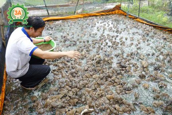 Nuôi ếch trong bể xi măng: Rải đều thức ăn cho ếch